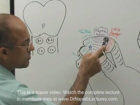 Midbrain - Structure & Function - Neuroanatomy - Dr  Najeeb